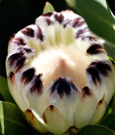 Establishing your New Protea