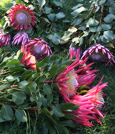 Pruning your Proteas