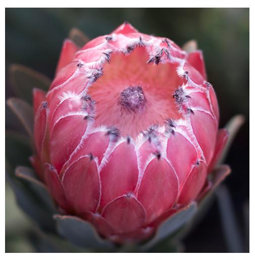 Australis Pink
