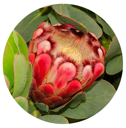 Princess Protea