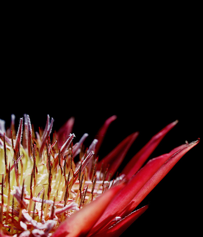 Caring for your Established Protea